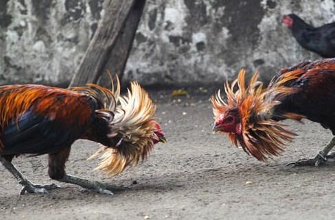 Rahasia Meracik Ramuan Untuk Ayam Bangkok Aduan