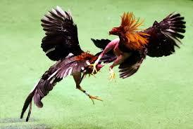 Sabong Ayam Filipina