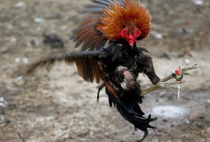 Tournamen Sabung Ayam Terkejam Di Dunia