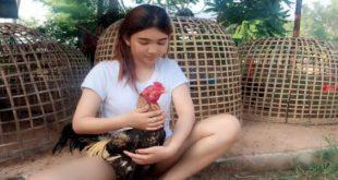 Cara Memandikan Ayam Bangkok Aduan Yang Benar-min