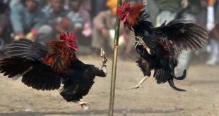 Persiapan Ayam Bangkok Aduan Sebelum Turun Ke Arena Pertarungan