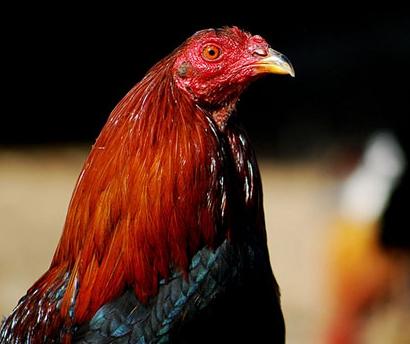 Agen Sabung Ayam Online-BERKENALAN DENGAN SABUNG AYAM TAJI PISAU DARI MADURA