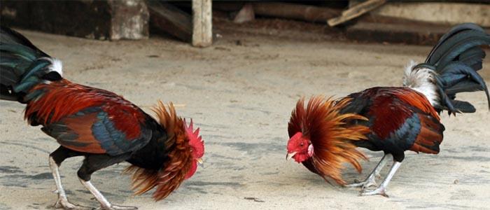 Beberapa Ciri-Ciri Ayam Aduan Yang Sehat