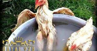 Cara Memandikan Dan Mengairi Ayam Aduan