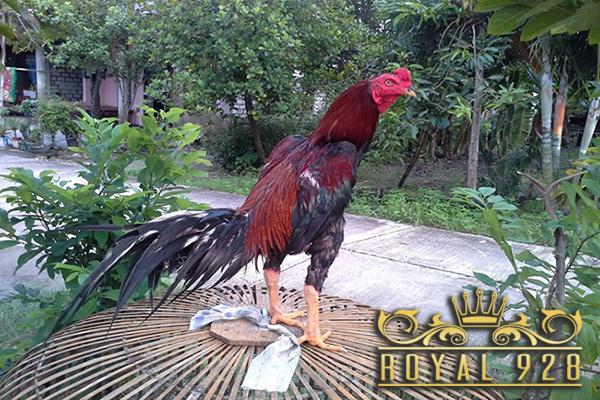 Cara Untuk Menebalkan Kulit Ayam Aduan