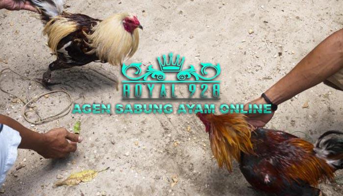 Ciri-Ciri Ayam Simbar Telak Dan Ayam Yang Paling di Buru