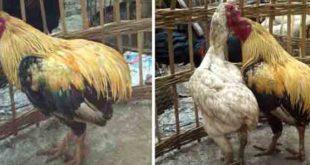 Ciri-Ciri Khas Sabung Ayam Tukung Hias