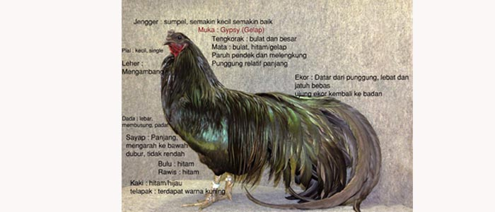 Ciri-ciri Ayam Aduan Black Sumatra Asli Indonesia dan Penyebarannya