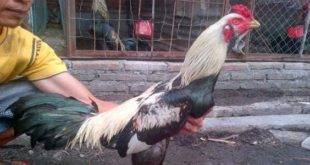 Ciri-ciri Ayam Bangkok Birma Asli Berkualitas Super
