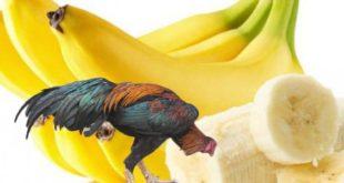 Khasiat Buah Pisang Untuk Ayam Aduan Sebagai Makanan Pengganti