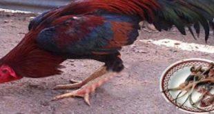 Khasiat Daging Cicak Untuk Stamina Sabung Ayam
