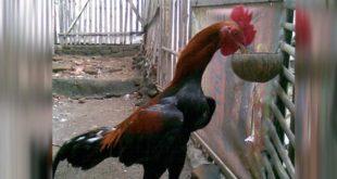 Makanan Ayam Bangkok Aduan Yang Berkualitas