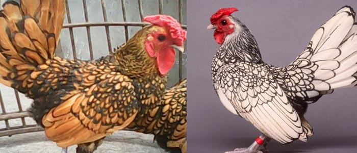 Mengenal Ayam Hias Batik atau Ayam Sebright Kanada