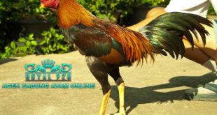 Persiapan Ayam Aduan 1 Bulan Sebelum di Tarungkan