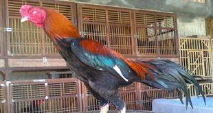 Rahasia Cara Melatih Ayam Bangkok Aduan Menjadi Ganas