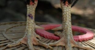 Rahasia Cara Memperkuat Jalu Ayam Bangkok Aduan