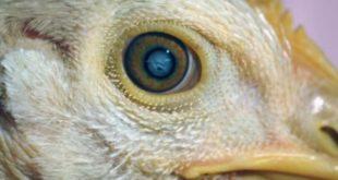 Agen Sabung Ayam Online-SAKIT MATA PADA AYAM ADUAN DAN CARA TEPAT PENGOBATANNYA Jika Ayam Petarung / Ayam Aduan / Ayam Bangkoksudah terkena penyakit mata ini, maka tentunya daya tarung ayam akan semakin berkurang.