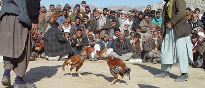 Sabung Ayam Asal Timur Tengah atau Sabung Afghanistan