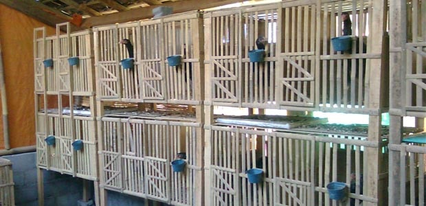 Ukuran Ideal Untuk Kandang Ayam Bangkok Aduan