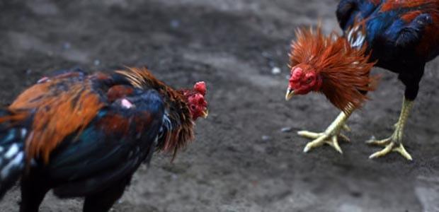 Untuk Para Penggemar Sabung Ayam Inilah Arti Airan Dalam Sabung Ayam