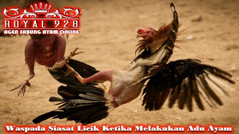 Waspada Siasat Licik Ketika Melakukan Adu Ayam