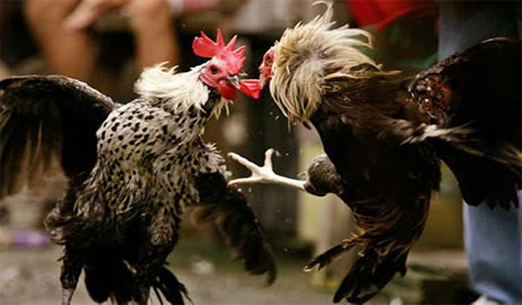 Agen Sabung Ayam Online-PERAWATAN MAKSIMAL SEBELUM LAGA ADUAN SABUNG AYAM