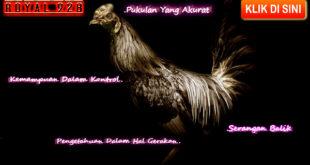 Pengetahuan Dasar Menilai Kemampuan Ayam Bangkok