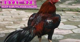 Karakteristik Ayam Pakhoy Yang Asli