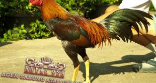 4 Cara Mengatasi Ayam Aduan Muda Yang Belum Siap Tarung