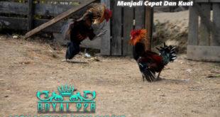 4 Tahap Melatih Serangan Ayam Aduan Menjadi Cepat Dan Kuat