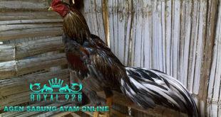 5 Nutrisi Penting Yang di Butuhkan Oleh Ayam Aduan