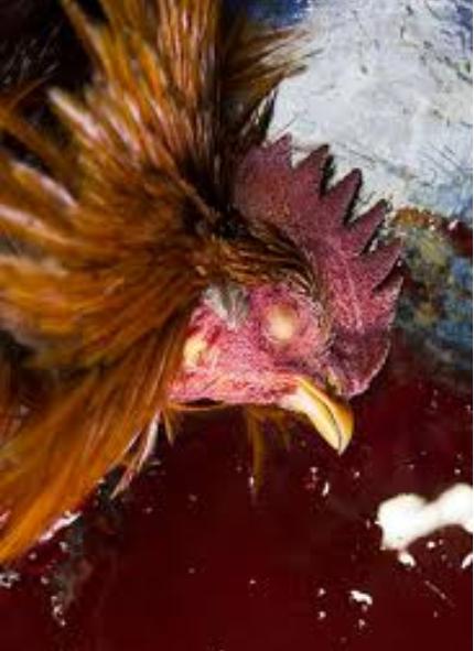 Agen Sabung Ayam Online- AKHIR DARI PERTARUNGAN TAJI PUSAU DI ARENA SABUNG AYAM