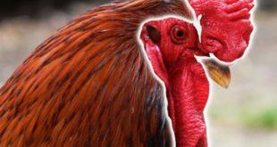 Agen Sabung Ayam Online- JAWARA AYAM BANGKOK BERMENTAL BAJA DILIHAT DARI JENGGER