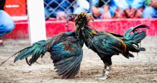 Agen Sabung Ayam Online- KETIKA AYAM PERU TERLIBAT SABUNG AYAM BERDARAH