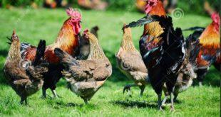 Agen Sabung Ayam Online- RAHASIA BUDIDAYA BERTERNAK AYAM RAS PETARUNG SUPER