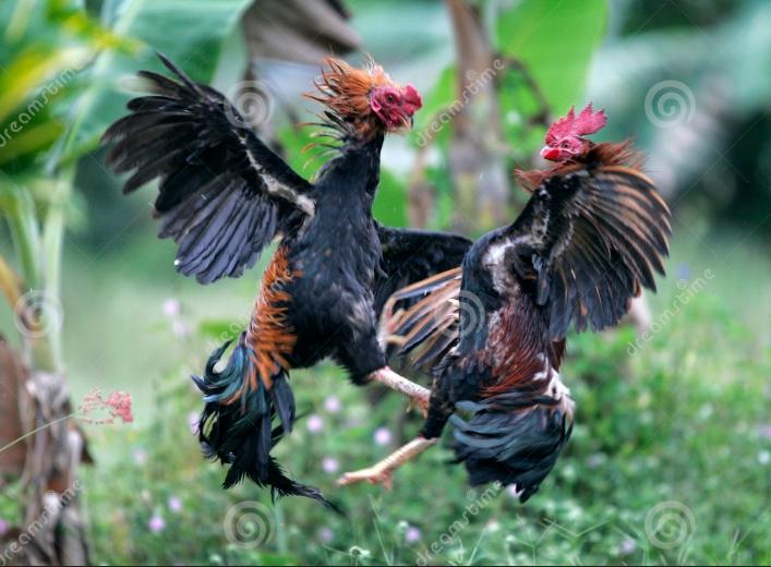 Agen Sabung Ayam Online- WASPADA SIASAT LICIK PEMAIN LAGA AYAM DI ARENA SABUNG AYAM