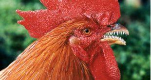 Agen Sabung Ayam Online- BANGKITKAN SIFAT AGRESIF AYAM ADUAN UNTUK ARENA SABUNG Ayam Aduan yang berkualitas biasanya karena didukung dari segi Mental , Postur dan Bobot ideal, serta akan lebih baik jika ayam tersebut juga memiliki sifat Agresif.