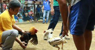 Agen Sabung Ayam Online- BEBAS MAIN SABUNG AYAM DI ARENA LAGA NEGARA GAJAH PUTIH