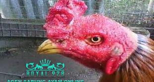 Cara Ampuh Untuk Mengatasi Korep Pada Ayam Aduan