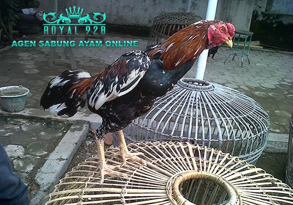 Cara Menyembuhkan Ayam Aduan Yang Terkena Serangan Saraf
