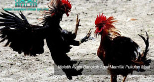 Agen Sabung Ayam Online - Melatih Ayam Bangkok Agar Memiliki Pukulan Maut
