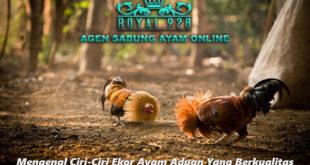Mengenal Ciri-Ciri Ekor Ayam Aduan Yang Berkualitas