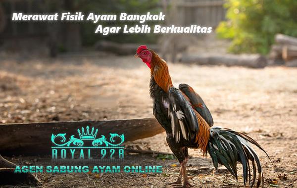Merawat Fisik Ayam Bangkok Agar Lebih Berkualitas