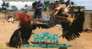 Misteri Dari Ayam Bangkok Menangan
