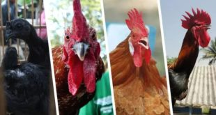 Agen Sabung Ayam Online- PARA BOBOTOH THAILAND TAKUT HADAPI AYAM SABUNG INDONESIA