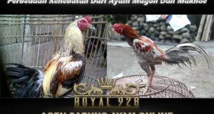 Perbedaan Kehebatan Dari Ayam Magon Dan Makhoe