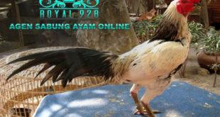 Tips Untuk Mengetahui Kelemahan Dan Mengalahkan Ayam Birma Atau Pama