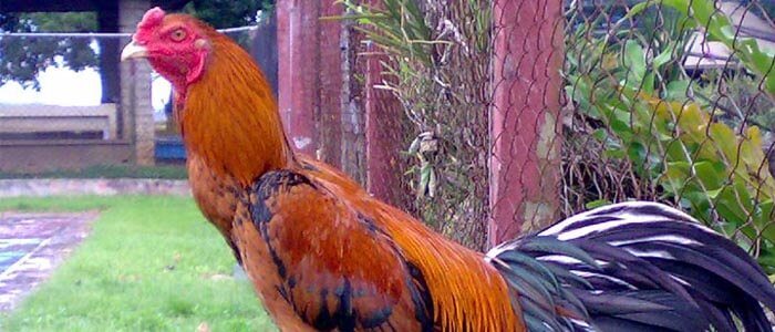 Ayam Aduan Brazil