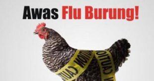 Cara Mengatasi Virus Flu Burung yang Sering Menyerang Sabung Ayam
