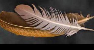 Cara Mengobati Bulu Ayam Yang Rusak dan Patah Setelah Bertarung 1